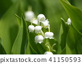 lily of the valley, valley star lily, bloom 41150593