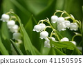 lily of the valley, valley star lily, bloom 41150595