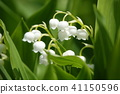 lily of the valley, valley star lily, bloom 41150596