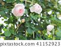 玫瑰灰姑娘 41152923