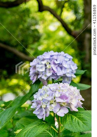 수국, 자양화, 꽃 41156869