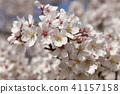 Cherry Blossoms 41157158