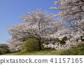 Cherry Blossoms 41157165