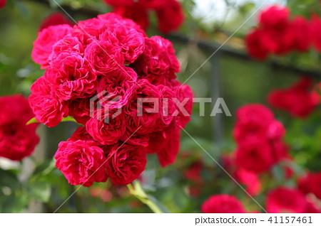 玫瑰玫瑰花 41157461