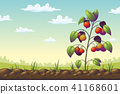 Tomato Plant On A Field 41168601
