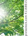 พืชสีเขียว,ผักใบ,ต้นไม้ 41168615