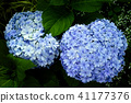 A picture of a popular new type hydrangea kaleidoscope (manjukiko) 41177376