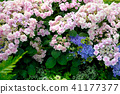 Types of hydrangeas (hydrangeas), pictures of various varieties 41177377