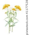 톱풀 노란색 흰색 41177528
