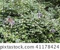 catta, ring, tailed 41178424