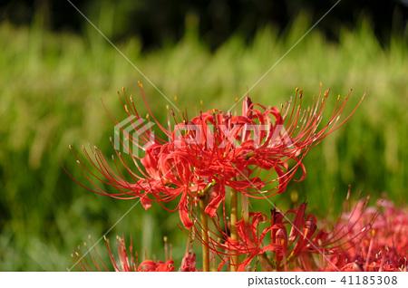 autumn, autumnal, cluster amaryllis 41185308
