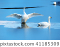High quality photo of swan (swallow swans) 41185309