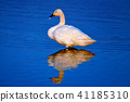 Swan (swan swan) high quality photo of wild bird 41185310