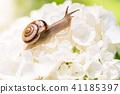 繡球花 蝸牛 花朵 41185397