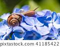 繡球花 蝸牛 花朵 41185422