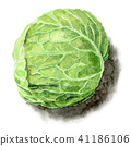 Winter cabbage painted with watercolor 41186106
