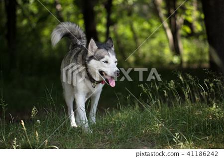 Siberian husky. Close-up. 41186242
