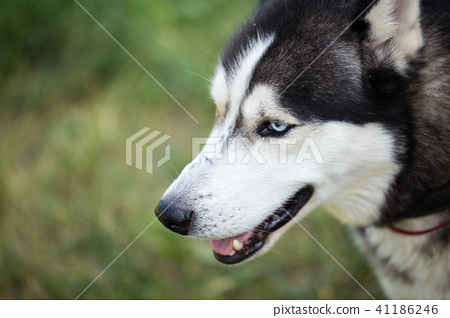 Siberian Husky Close Up Stock Photo 41186246 Pixta