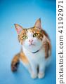 고양이, 삼색털 고양이, 삼색 얼룩고양이 41192971