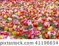 튤립, 꽃, 플라워 41196634