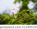 식물, 단풍나무, 열매 41200539