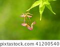 식물, 단풍나무, 열매 41200540