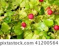 식물, 과일, 과실 41200564