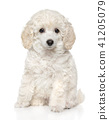 Poodle puppy in front of white background 41205079