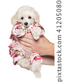 Toy poodle puppy in fashionable clothes 41205080
