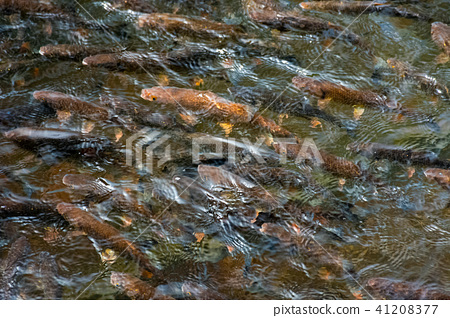 lots of trout in clear water of wild lake 41208377