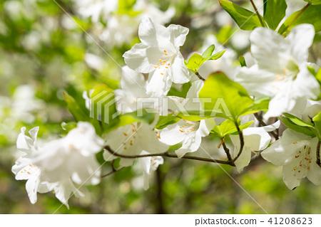 白尾米杜鵑花(五月) 41208623