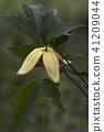 Korean clematis flower. 41209044