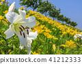 백합, 꽃밭, 백합 정원 41212333