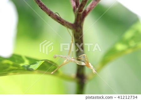 螳螂成為木乃伊,同時仍然附著在樹上 41212734