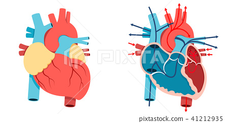 Human heart and Blood flow 41212935