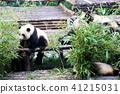 청두 팬더 繁育 연구 기지 41215031
