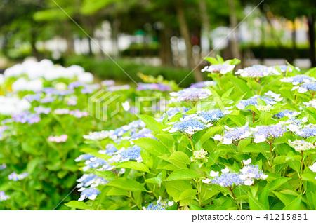 수국 초여름 보라색 파란색 꽃 흰색 41215831