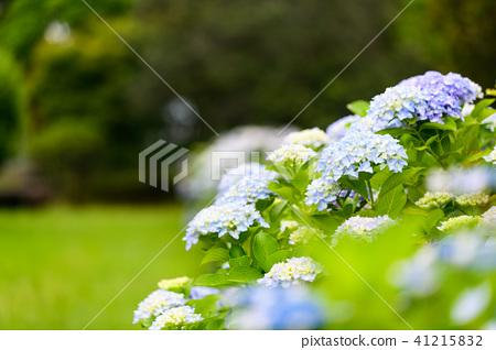 수국 초여름 보라색 파란색 꽃 흰색 41215832
