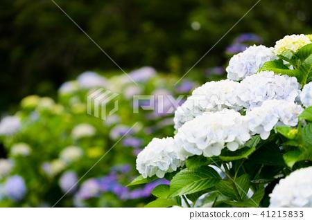 수국 초여름 보라색 파란색 꽃 흰색 41215833