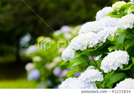 수국 초여름 보라색 파란색 꽃 흰색 41215834