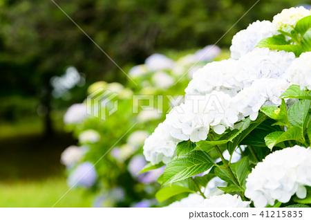 수국 초여름 보라색 파란색 꽃 흰색 41215835