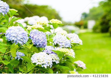 수국 초여름 보라색 파란색 꽃 흰색 41215836