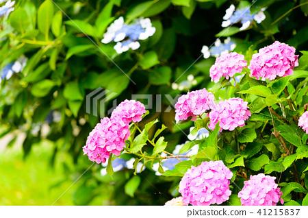 수국 초여름 보라색 파란색 꽃 흰색 41215837