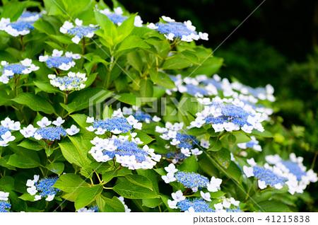 수국 초여름 보라색 파란색 꽃 흰색 41215838