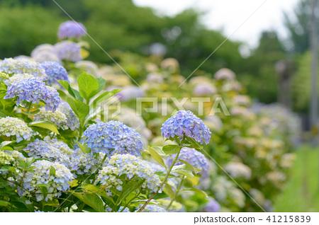 수국 초여름 보라색 파란색 꽃 흰색 41215839