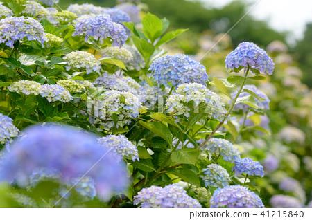 수국 초여름 보라색 파란색 꽃 흰색 41215840