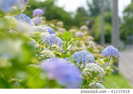 수국 초여름 보라색 파란색 꽃 흰색 41215918