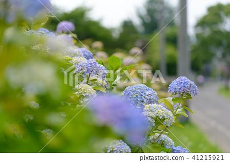 수국 초여름 보라색 파란색 꽃 흰색 41215921