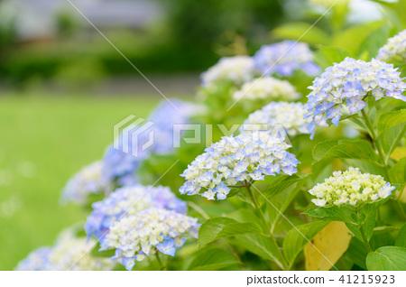 수국 초여름 보라색 파란색 꽃 흰색 41215923