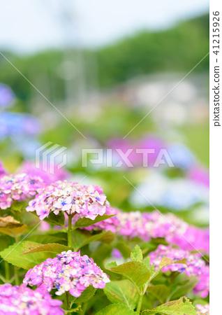 수국 초여름 보라색 파란색 꽃 흰색 41215926